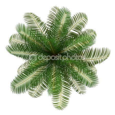 Top View Of Coconut Palm Tree Isolated On White Background Tree Photoshop Trees Top View Tree Plan Png