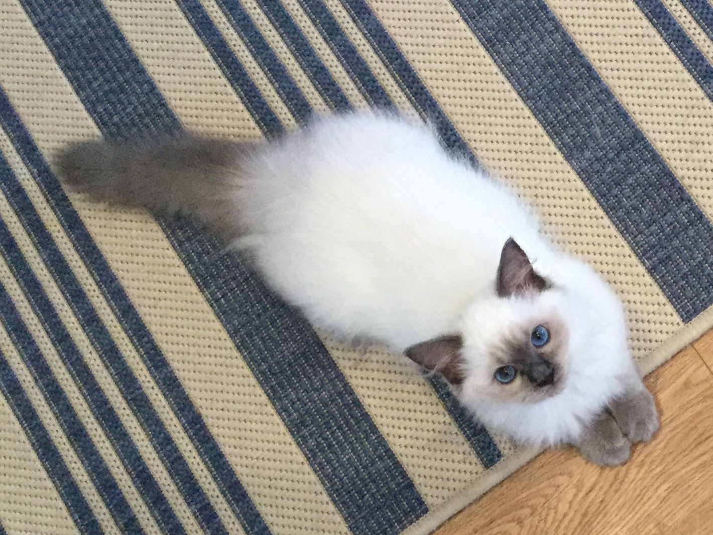 Kelsey My Sweet Blue Point Ragdoll Kitten At Around 20 Weeks Old She Is Getting Good At Playing Fetch Blue Point Ragdoll Ragdoll Kitten Kitten