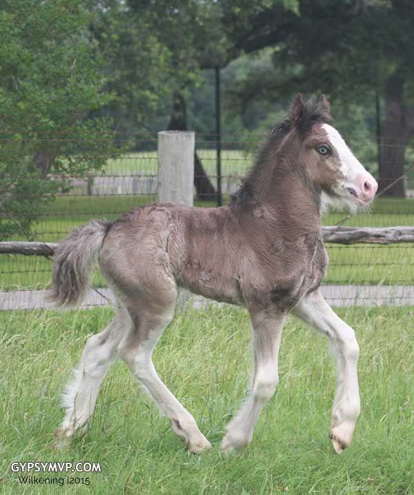 Gypsy Vanner Horses for Sale   Colt   Black   Thunder Rolls