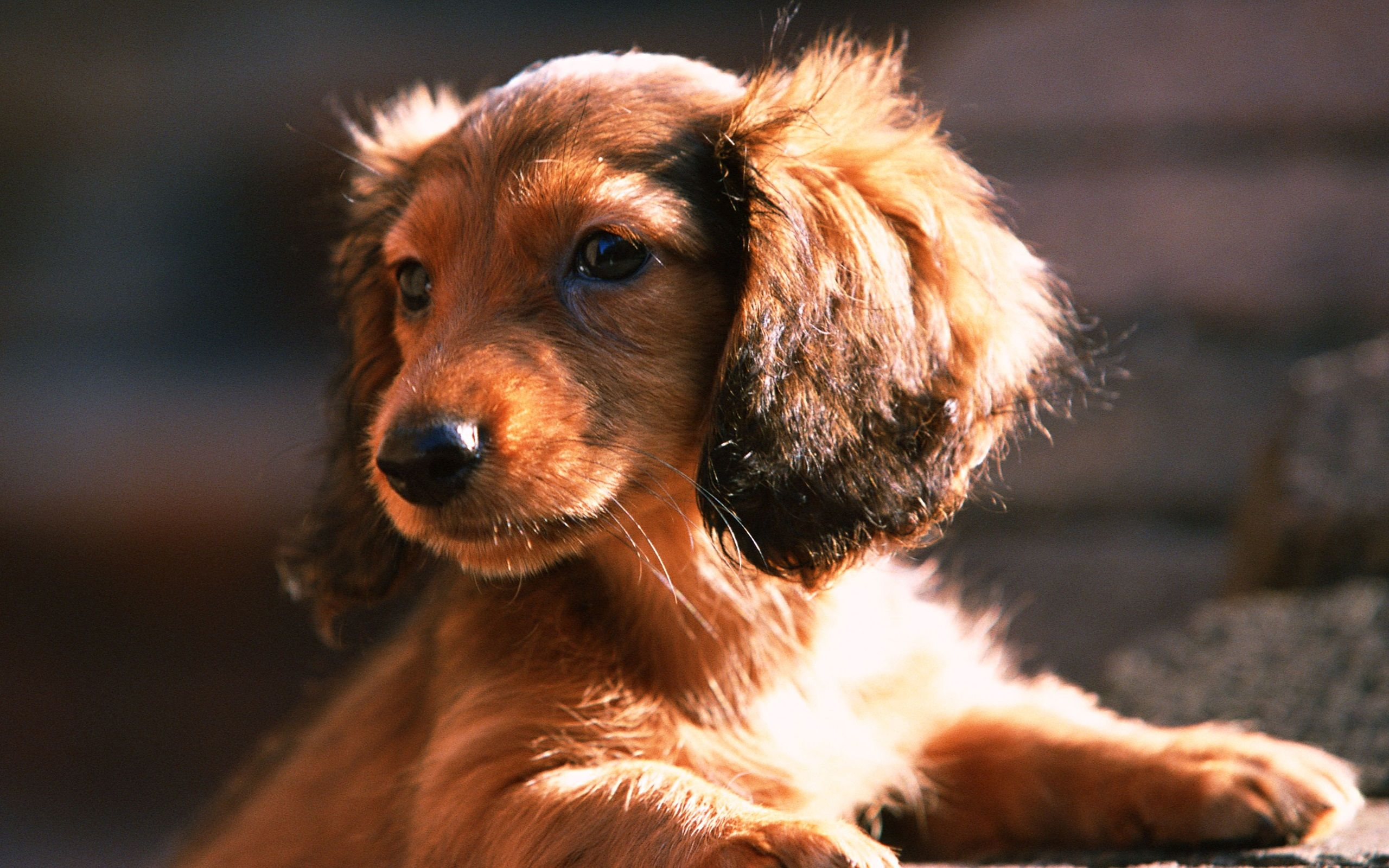 A Cute Dog With Big Ears Dachshund Puppy Dachshund Puppy Miniature