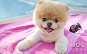 boo the dog pomeranian - Google Search