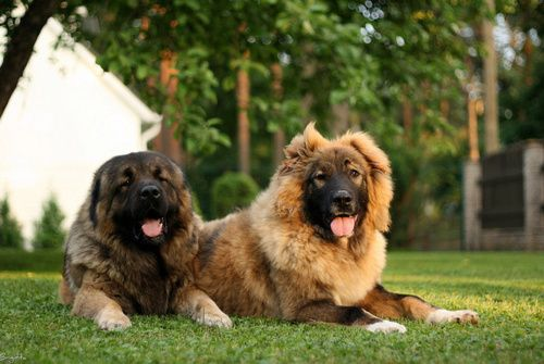Caucasian Shepherd Dog or Sheepdog / Caucasian Ovcharka / Caucasian Mountain Dog / Kavkazskaïa Nagazi Ovtcharka