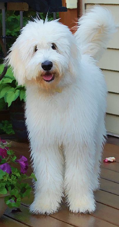 Tualatin River Labradoodles And Goldendoodles Dogs Cute Dogs