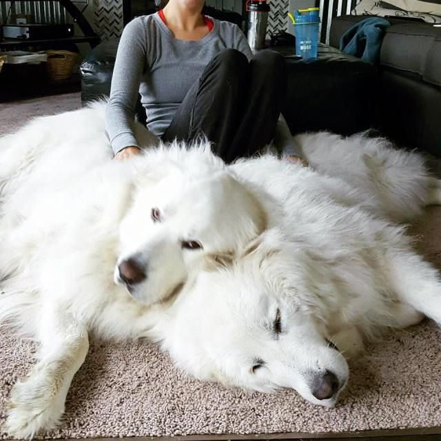 Hello Is Anyone There Great Pyrenees Dog Dogs Fluffy Dogs