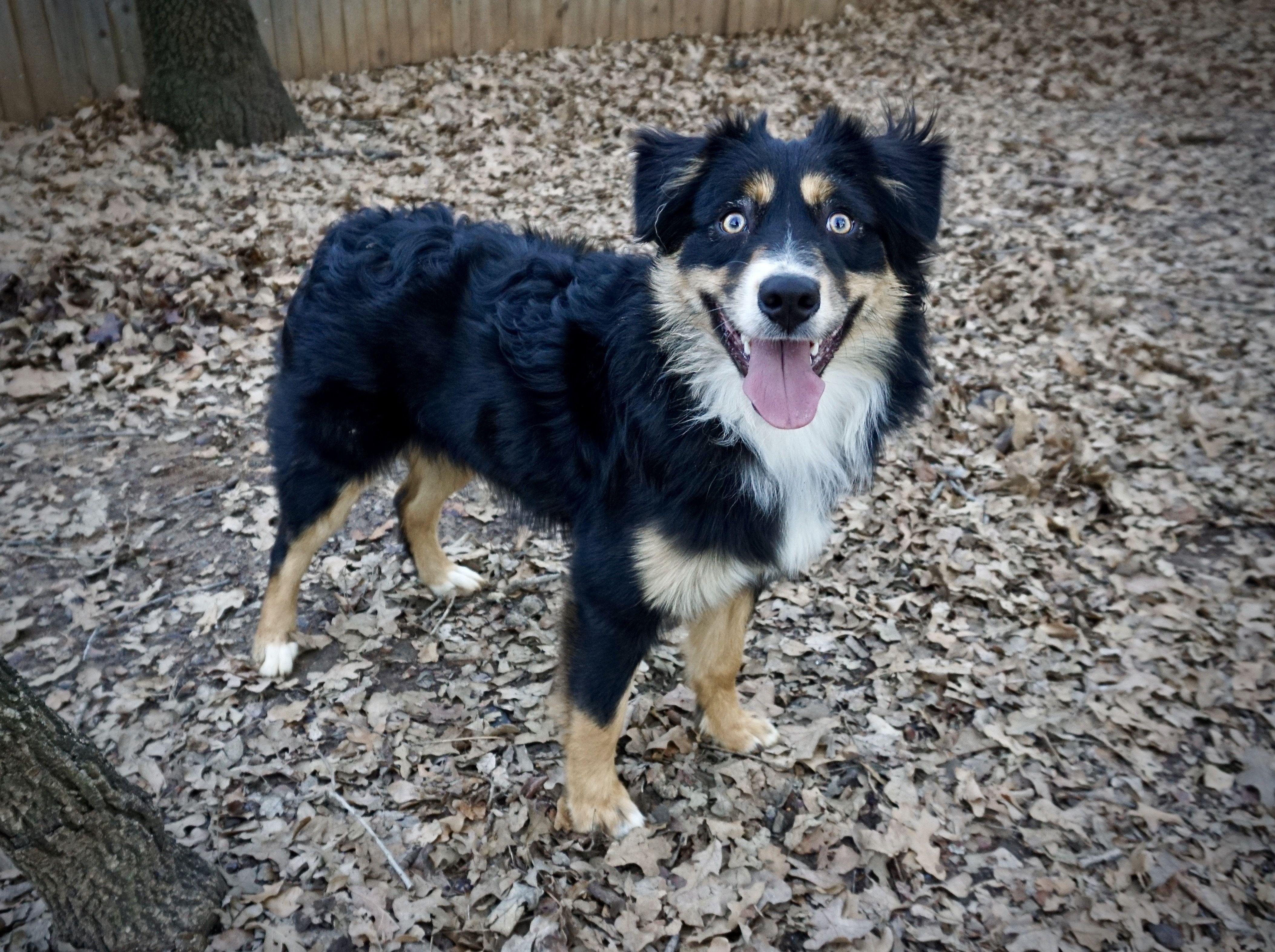 Adopt Sammi On Australian Shepherd Dogs Australian Shepherd
