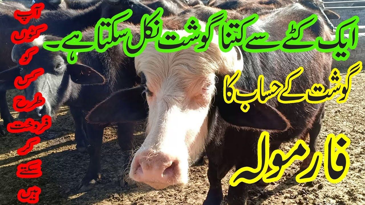 Katta farming in Pakistan / How to sale Katta / Katta