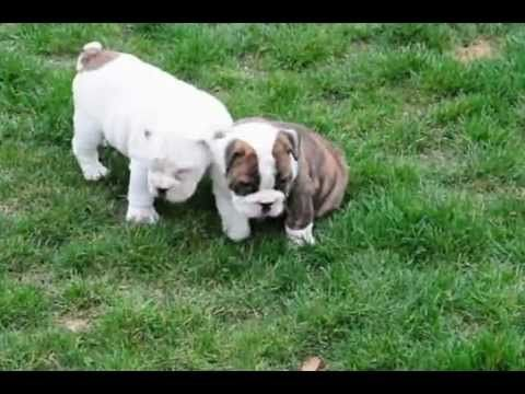 Wrinkly Little English Bulldog Puppies Video The Sweetest
