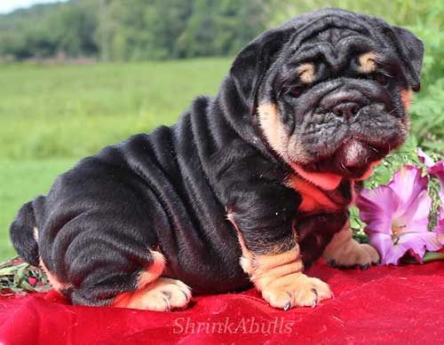 Rare Color English Bulldogs Click Here For More Info About Lilac