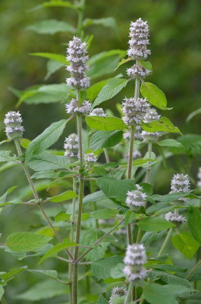 blephilia hirsuta hairy woodmint minnesota wildflowers