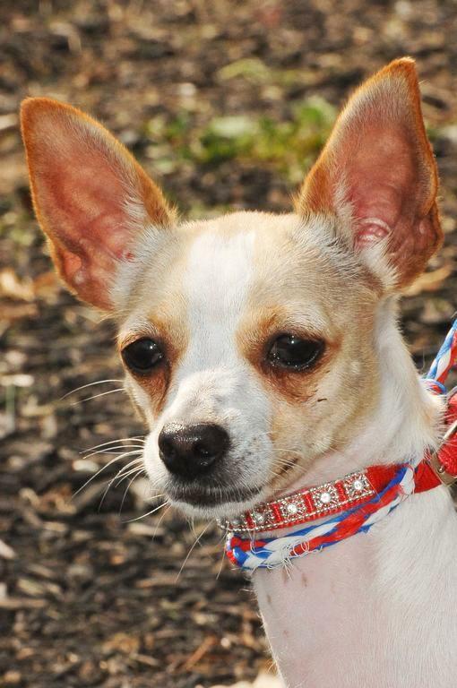 Adopt Kieri 6 13 15 On Chihuahua Dogs Dogs Animals