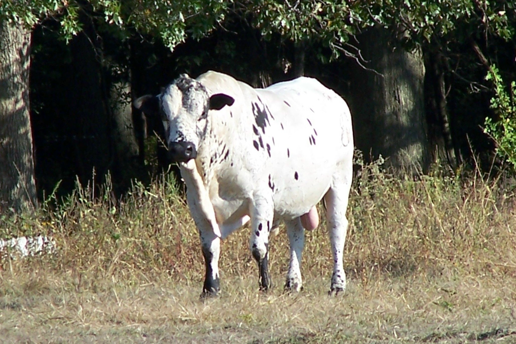 Home half diamond t cattle animal pictures my pictures
