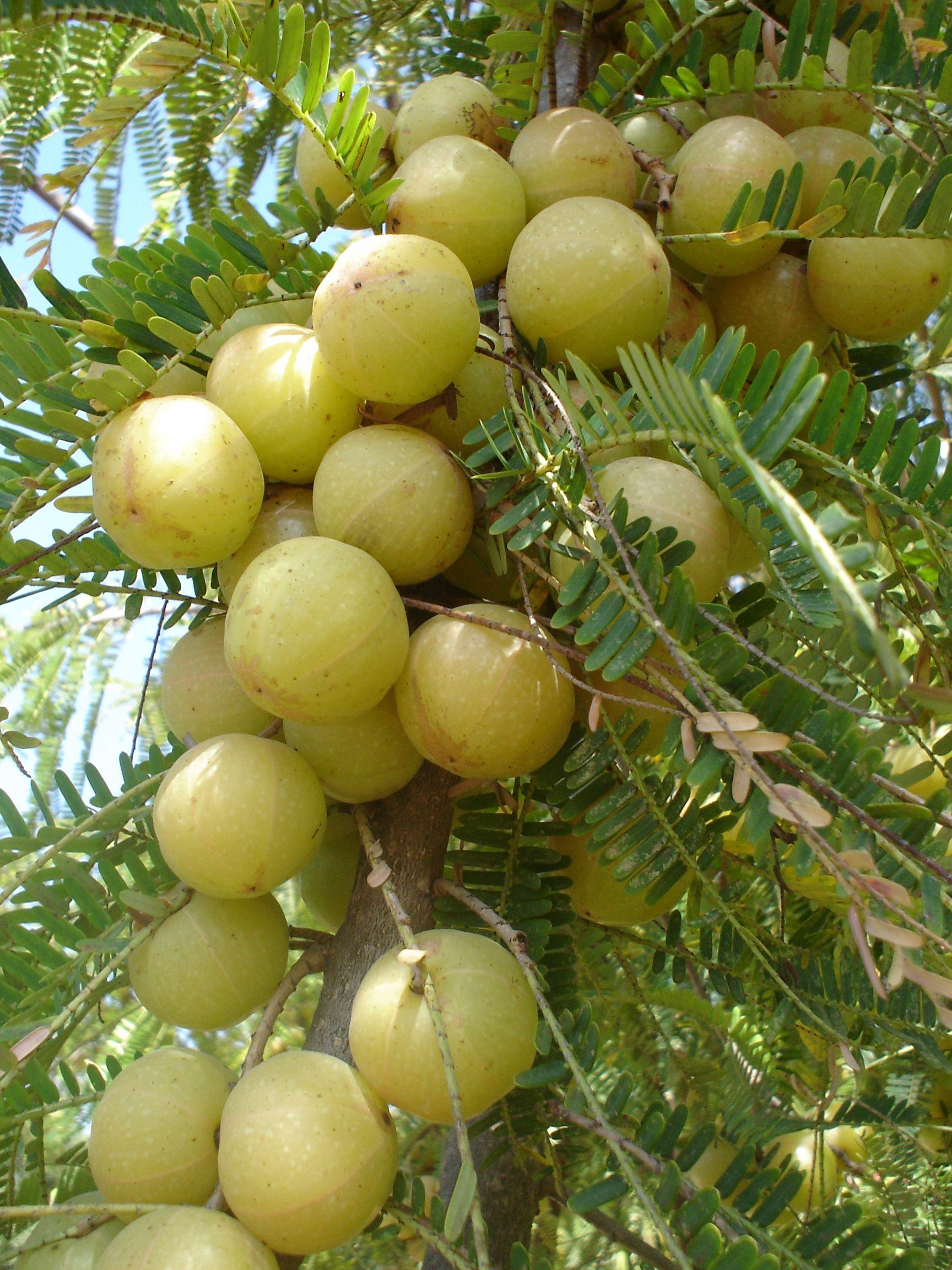AmlaIndian gooseberry (Phyllanthus emblica) Fruits on