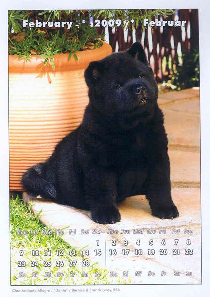 Black Smooth Chow Chow Puppy Ciao Chows Chow Chow Dog Puppy