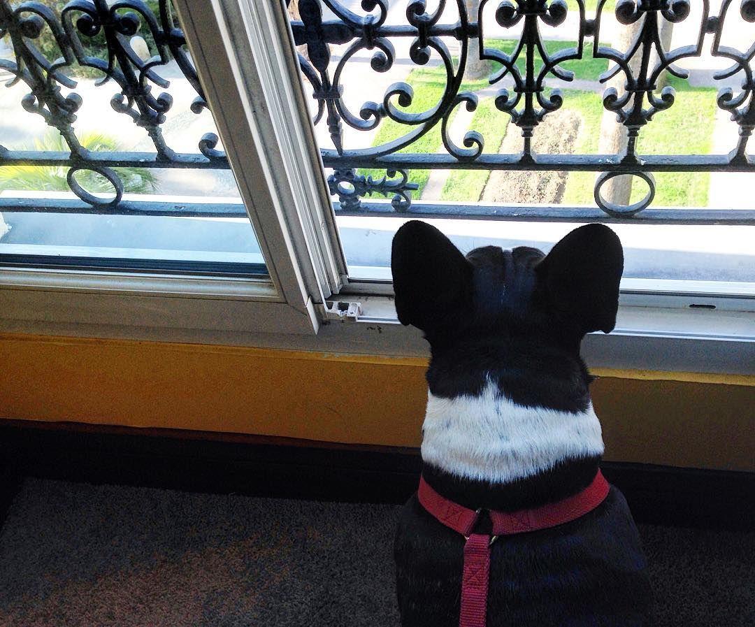 Romeo si gode il panorama a Nizza! #ilovemy french #ilovemyfrenchie #ilovemydog #myfrenchbulldog #nizza #nizza #nicefrance #costaazzurra #nice #costaazul #cotedazur #nizza #Francia #France