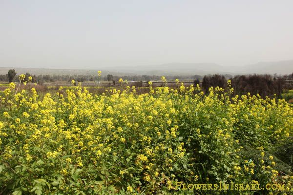 Common Name White Mustard Salad Mustard Flowering Period January February March April May August November December Plants Farmland Common Names