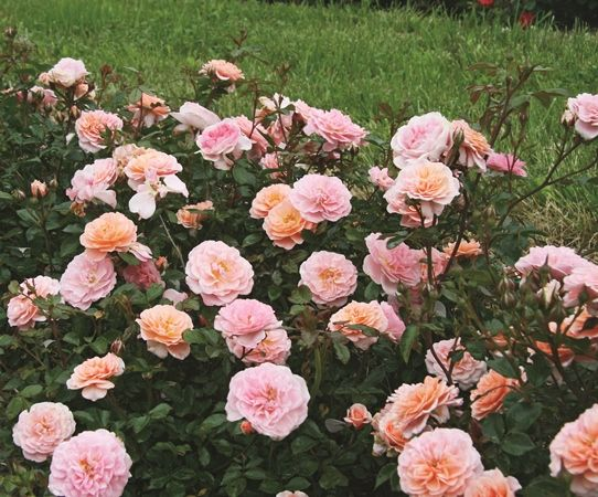 Roses In Garden: Apricot Drift Groundcover Rose