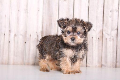 Shorkie Tzu Puppy For Sale In Mount Vernon Oh Adn 36811 On Puppyfinder Com Gender Male Age 9 Weeks Zuchon Puppies For Sale Puppies For Sale Teddy Bear Dog
