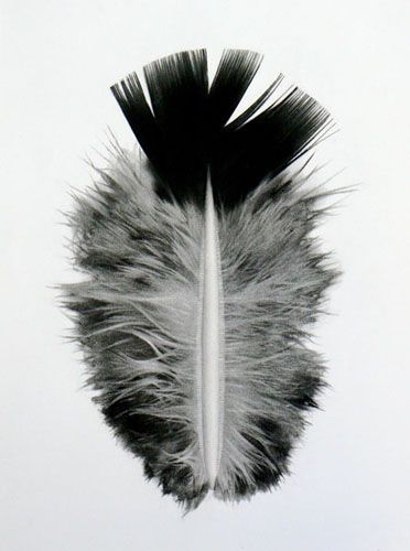 feather II, charcoal on primed linen. by jonathan delafield cook.