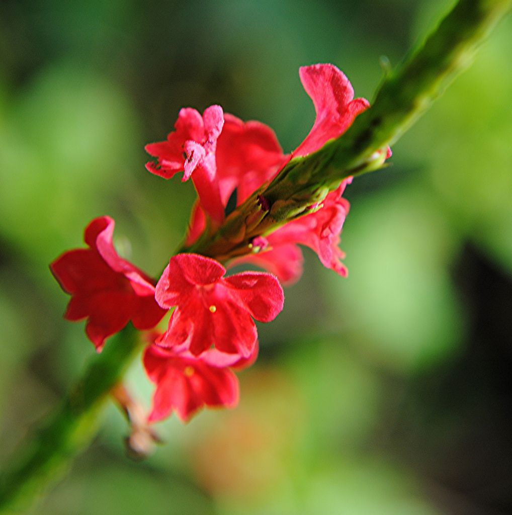 Red Porterweed glows in moist morning light