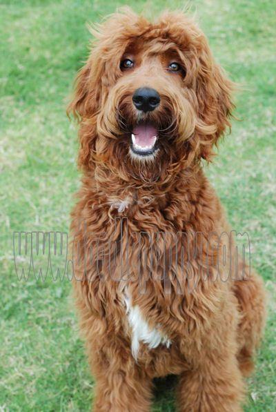 Shihtzu Poodle Poochon Bich Poo Mixed Breeds Shihpoo Toy Poodle Shih Poo Poodle Mix Poodle Mix Puppies