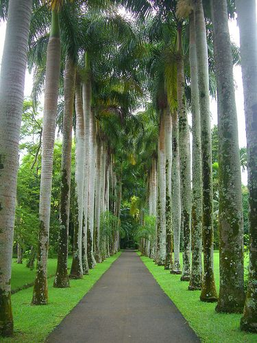Royal Palms In Pamplemousses