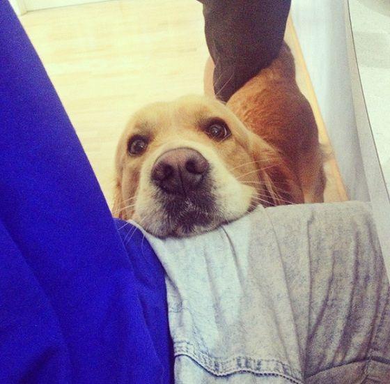 Golden Retriever Begging Dogs Dog Mom Puppies
