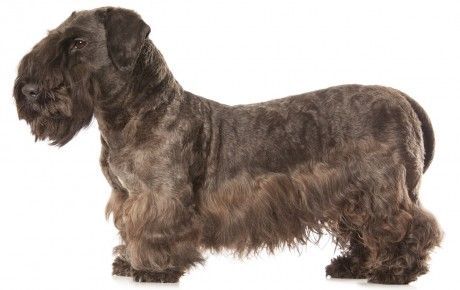 Cesky Terrier Dog Breed Information, Pictures