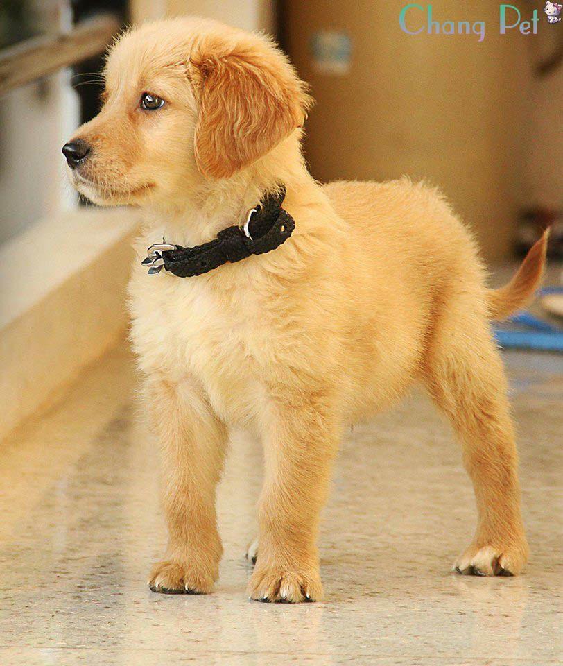 Golden Ritriever 8 Dogs Dogs Puppies Labrador Retriever