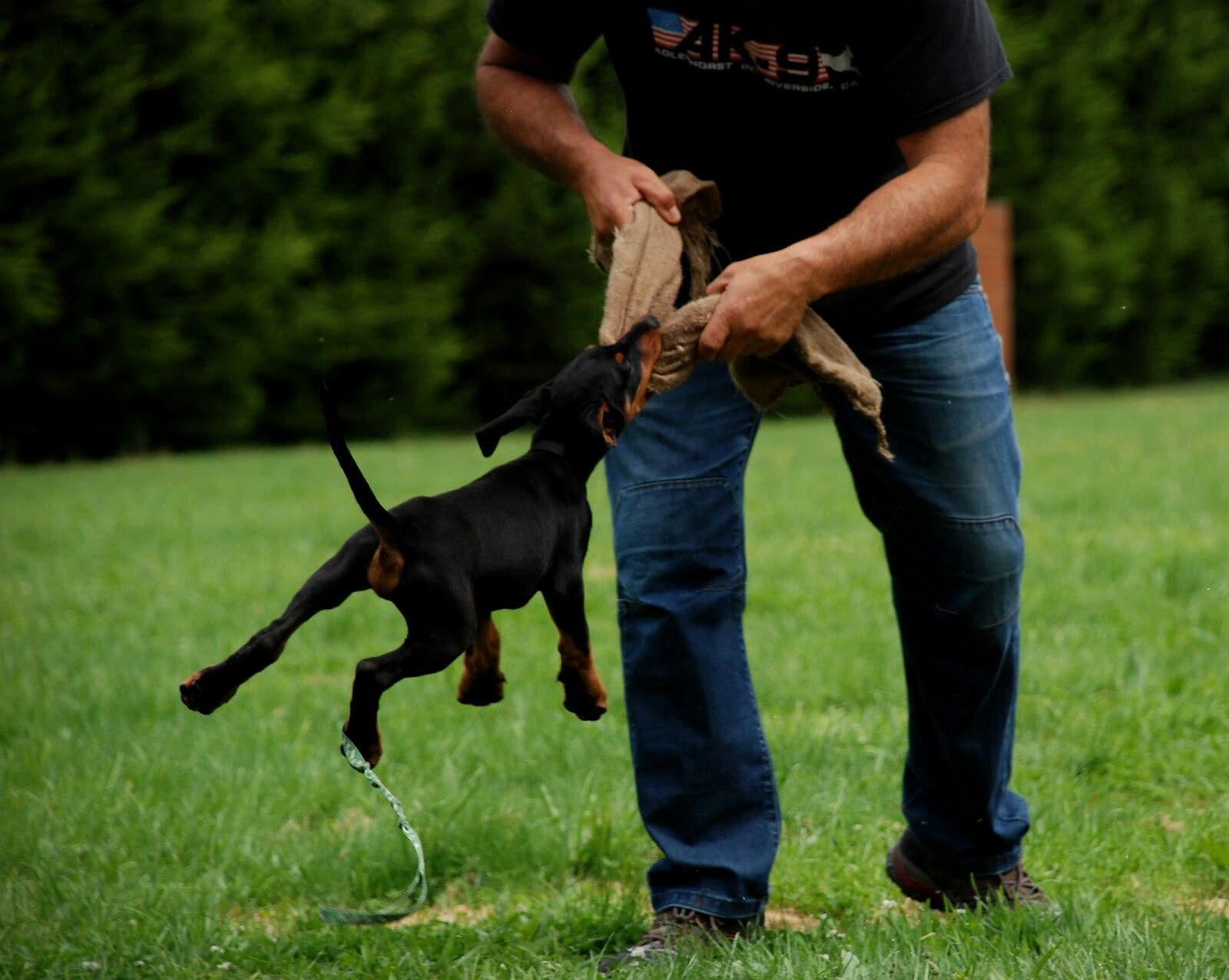 Doberman Puppy Starting His Ipo Bitework Training Early Working