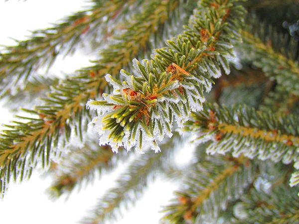 Frost spruce needles up close