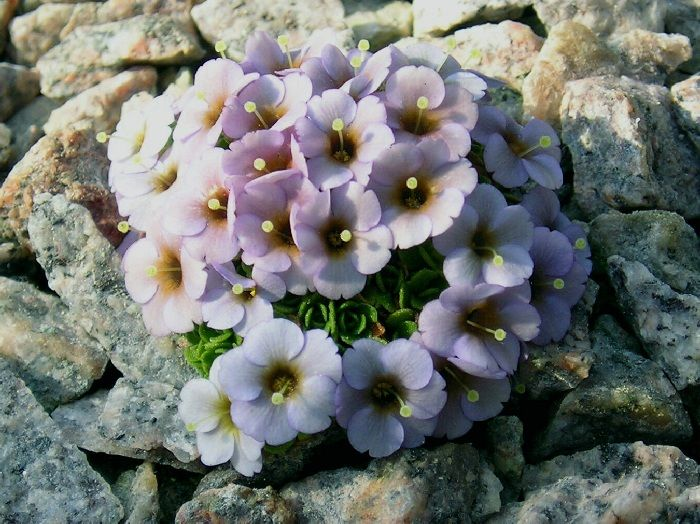 Dionysia afghanica x tapetodes
