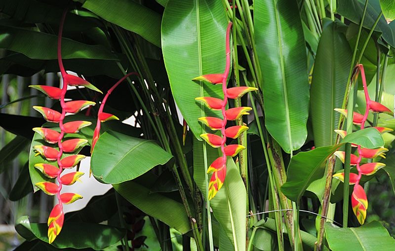 Lobster Claw Heliconia Heliconia Rostrata Herbaceous Perennials Virtual Flowers Flowers