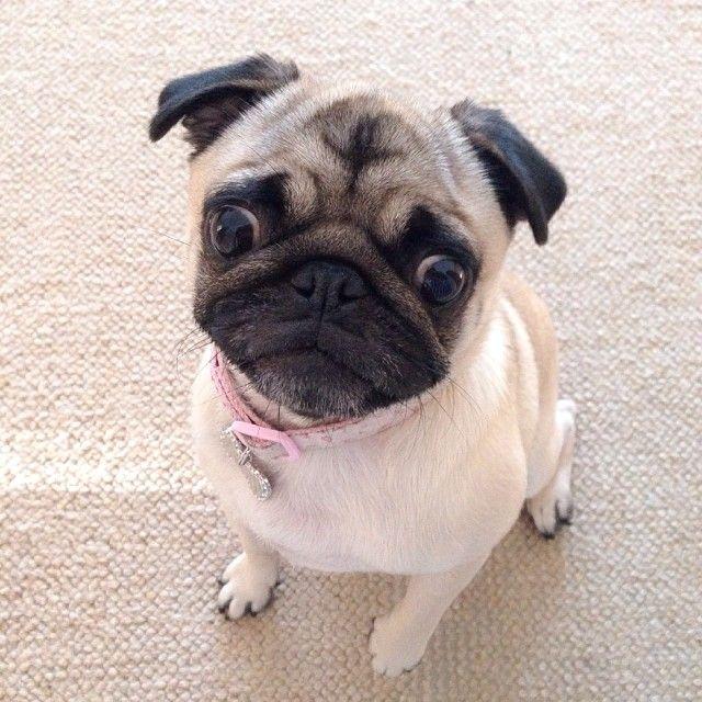Little Pug Face Baby Pug Dog Tumeric For Dogs Cute Pugs