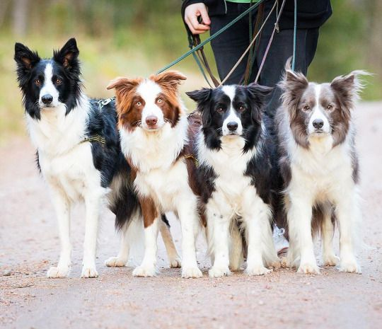 Spilltojill Pets Dogs Cats Collie Dog Collie Puppies Dogs