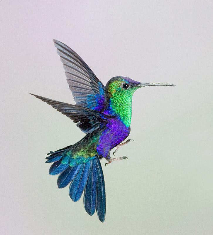 Crowned Woodnymph - photo by Linda Robbins | Hummingbirds ...