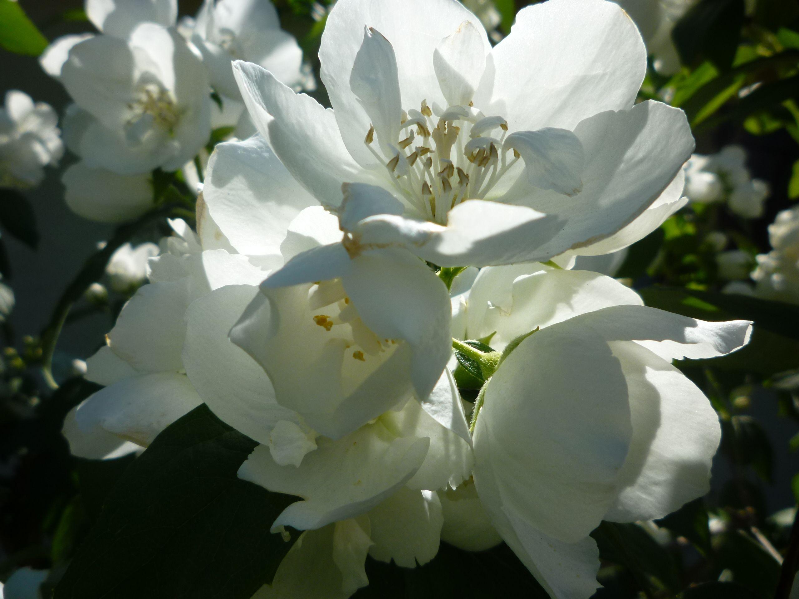 fleur de seringat | Mes photos nature et fleur | Pinterest