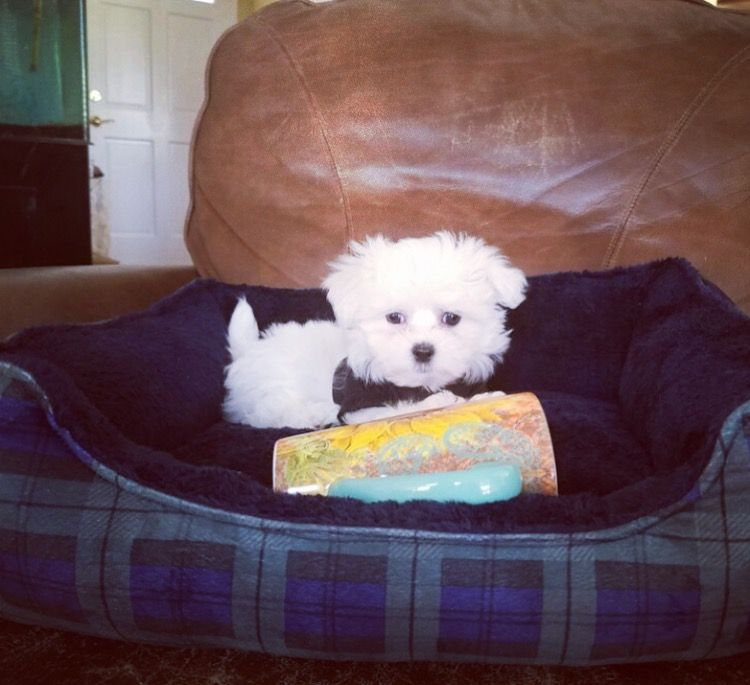 Maltipoo puppy for sale in LOS ANGELES, CA. ADN26265 on
