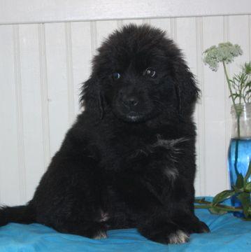 Newfoundland Puppy For Sale In Gap Pa Adn 45607 On Puppyfinder