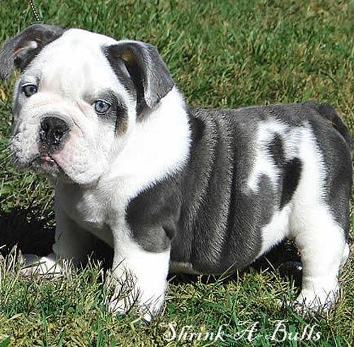 Miniature English Bulldog Cuties Pinterest Blue English Bulldogs Cute Animals Baby Dogs