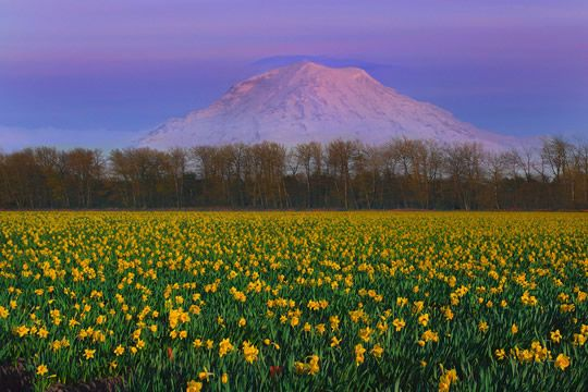 Daffodils flower fields puyallup valley and mt rainier art flower mightylinksfo Images