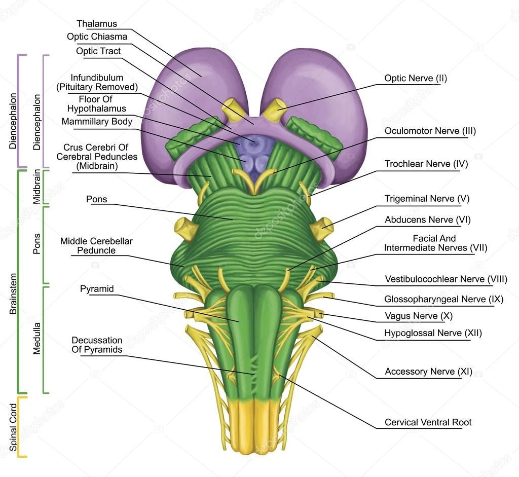 Brainstem, brain stem, ventral view, posterior part of the brain ...