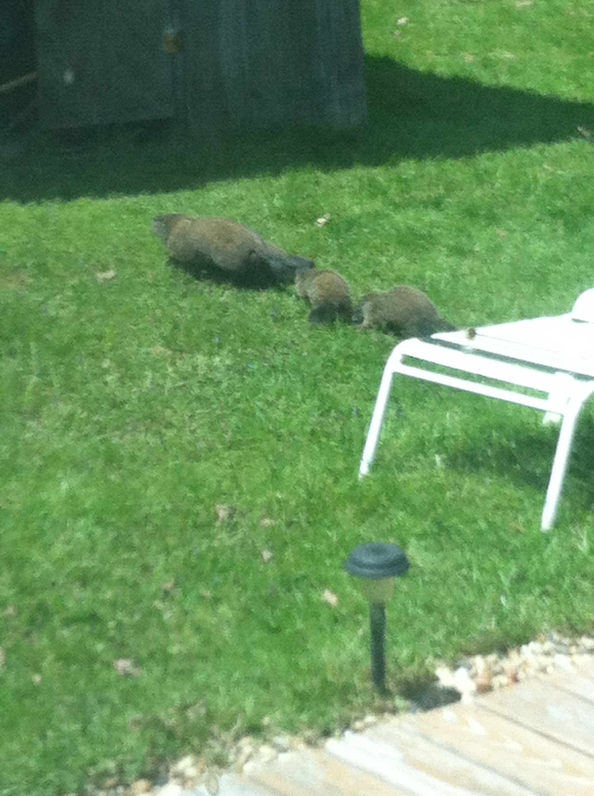 Kevineta and her 5 baby groundhogs in my bam yard. So cute ...