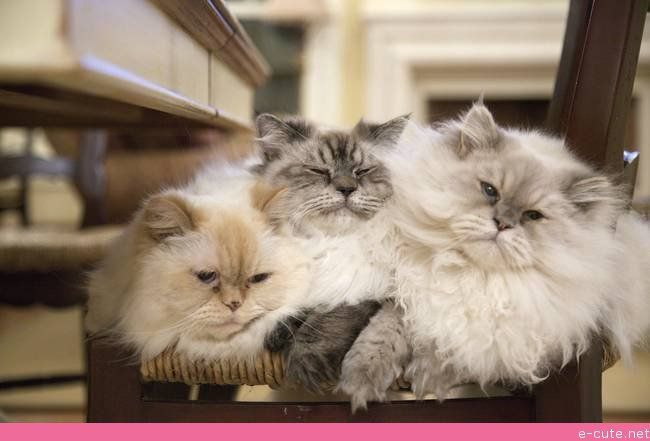 3 Himalayans on a Chair Cats, Cute cats, Kittens cutest