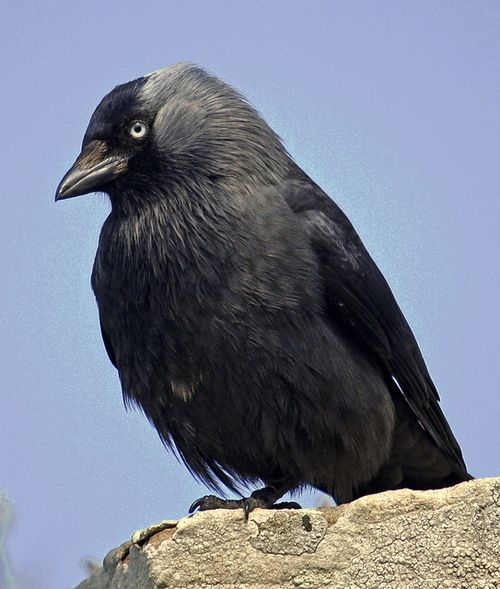 Jackdaw Photo by mistyblue17 on Flickr