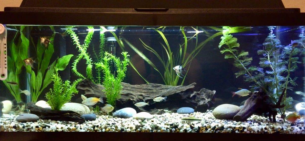 20 Gallon Long Freshwater Tank 1 Blushing Koi Angelfish 5 Marble 4 Rainbowfish 3 Colombian Tetras Congo 2 Siamese Algae Eaters