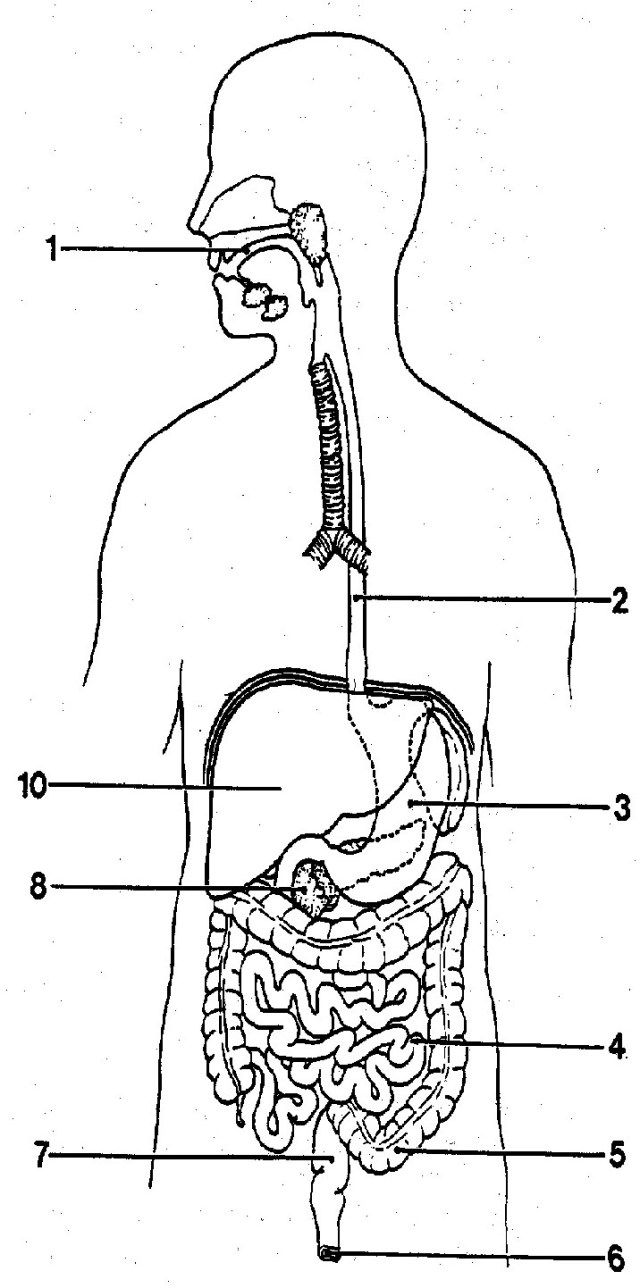 Picture Of Digestive System With Labels - koibana.info ...