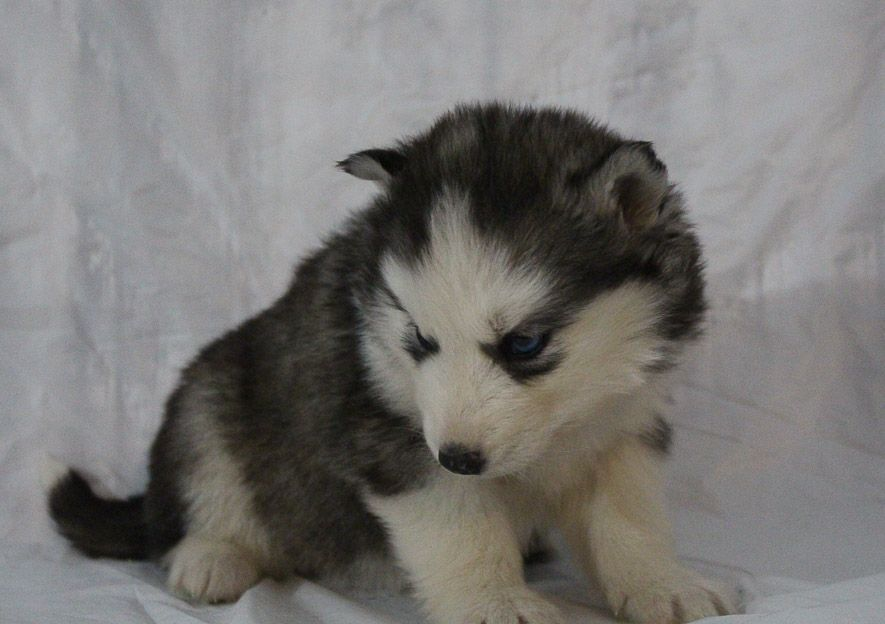 Sabrina A Female Akc Siberian Husky Puppy For Sale In New Haven