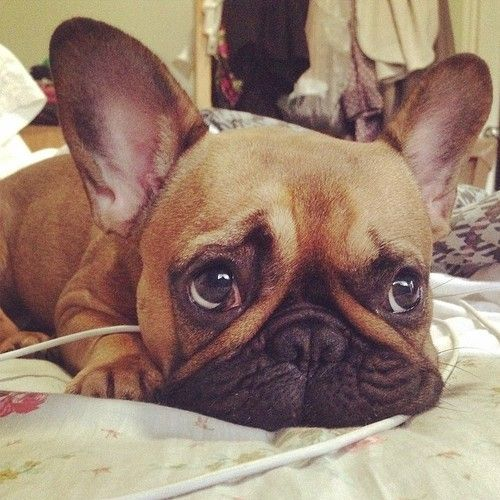 Frenchie Themostintrestingbrando Tumblr Com Cute French Bulldog