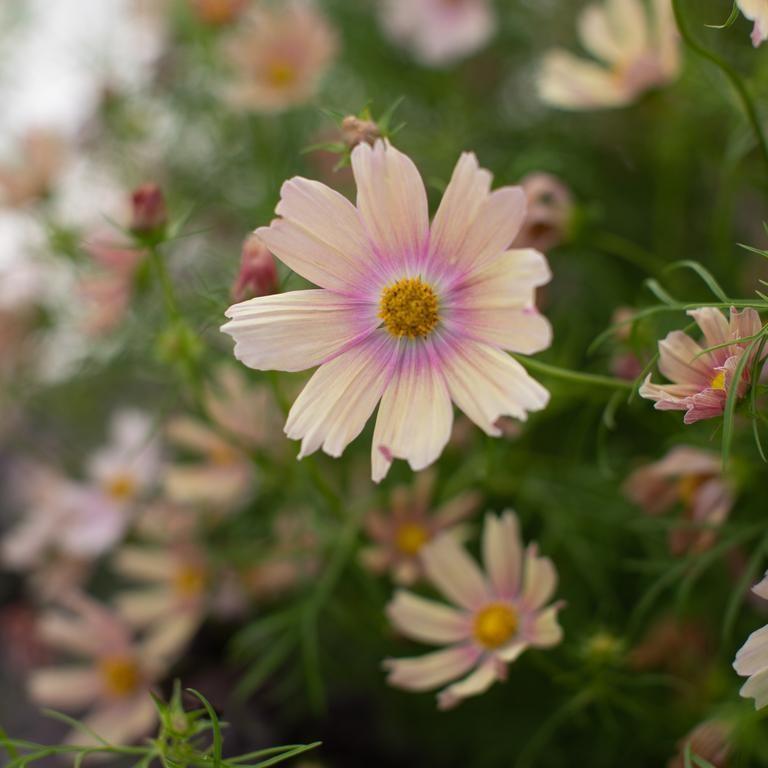 Cosmos Apricot Lemonade In 2020 Cosmos Flowers Cosmos Flowers Garden Cosmos