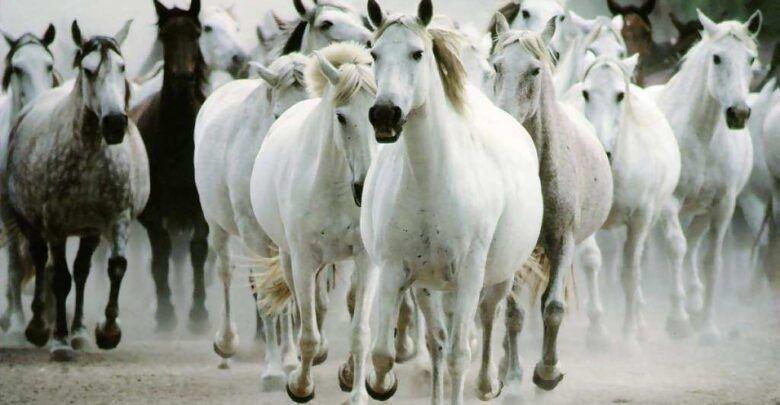كلام جميل عن الخيل والفروسية تويتر Wild Horses Running Horses Horse Wallpaper